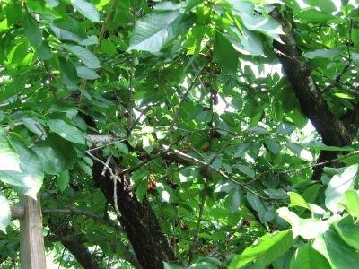 Усыхание деревьев черешни