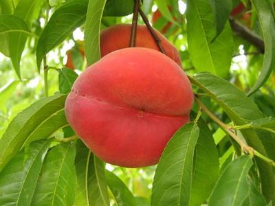 Посадка персика и уход