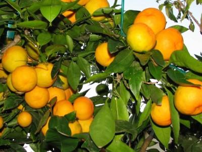 выращивание цитруса