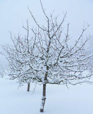 Как уберечь зимой деревья?