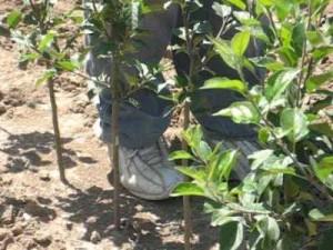 раннее плодоношение яблони