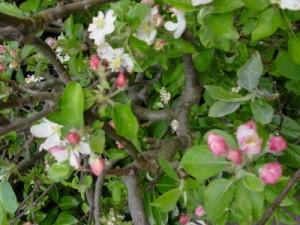 стланцевая  форма яблони
