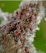 красногалловая тля