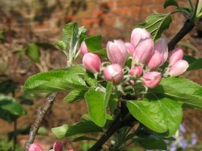 Фазы цветения сада