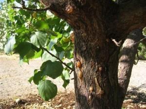 усыхание абрикосы