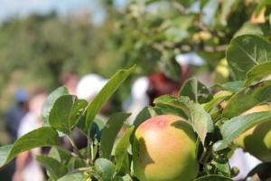 Как правильно удобрять плодовые деревья