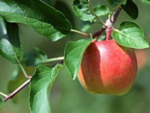 удобренная яблоня