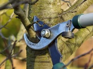 Обрезка плодоносящих деревьев вишни