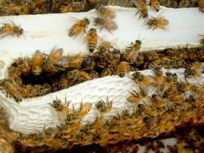 пчелиный трутень