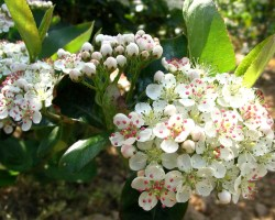 Арония цветет